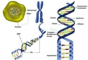 kletka-hromosoma-gen-DNK (ru)